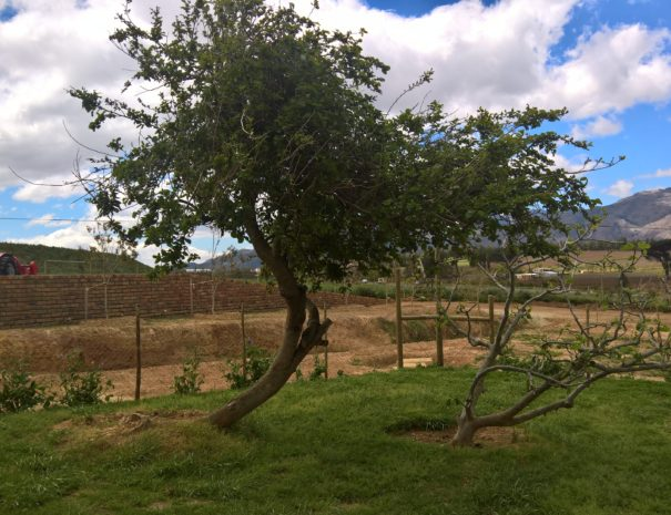 Mulberry and Fig Trees at De Rust Cottage
